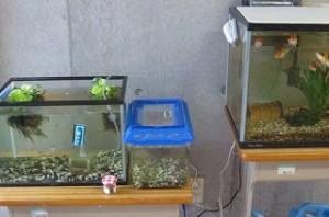 古賀さんにいただいたメダカの水槽を,鯉(大正三色)の水槽脇に引っ越しました。これで水も濁らなくなると思います。\