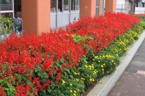 夏の暑さがなくなって2週間。サルビアの花房が伸び,赤色も濃くなってきました。\