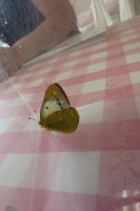 児童が珍しい蝶を捕りました。姿は間違いなくモンシロチョウ。ですが、白くありません。「色黒のモンシロチョウ!?」・・・。\\