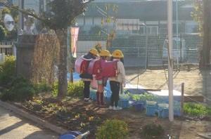 朝の日差しの中、2年生の女の子が,生活科で蒔いたラディッシュの育ち具合を見ているところです。\\
