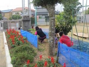 3年生が自分たちで育てているホウセンカ・オクラ・ヒマワリの周りの草を抜いています。\