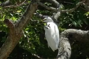 豊津小に毎日来る白鷺です。この木の下には「流れ川(通称)」があります。\