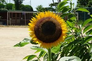 3年生の育てたヒマワリです。こんなにきれいに咲きました。この写真はちょっと前に撮ったもので,今は「実るほど頭を垂れる・・・」となっています。\