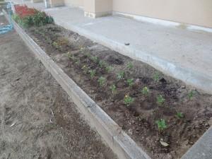 特別棟前の花壇の花がなく,夏休みに種を蒔いたマリーゴールドを植えました。10月10日の豊津ふれあい運動会までにどのくらい大きくなるでしょう?\