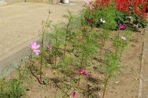 コスモスの花が増えました。運動会に間に合いそうです。\