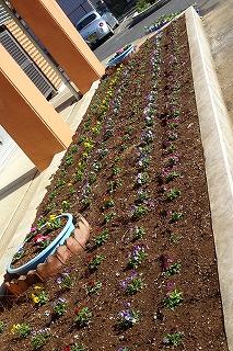 秋から春にかけての花壇計画が完了しました。子ども達全員が参加しました。元気に花を咲かせています。\