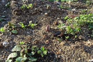 やっと出てきました。なんだか分かりますか?チューリップの芽です。\
