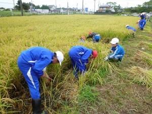 地域の方々のアドバイスを受け、自分たちが田植えをした稲の刈り取りを行いました